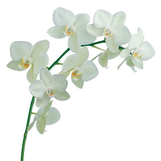 wandtattoo orchidee wei im obi online shop. Black Bedroom Furniture Sets. Home Design Ideas