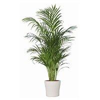 zimmerpflanzen online kaufen bei obi
