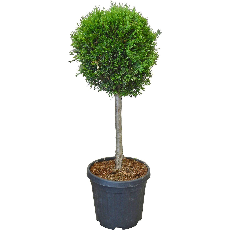 obi abendl ndische lebensbaum smaragd h he ca 80 cm topf ca 15 l kaufen bei obi. Black Bedroom Furniture Sets. Home Design Ideas