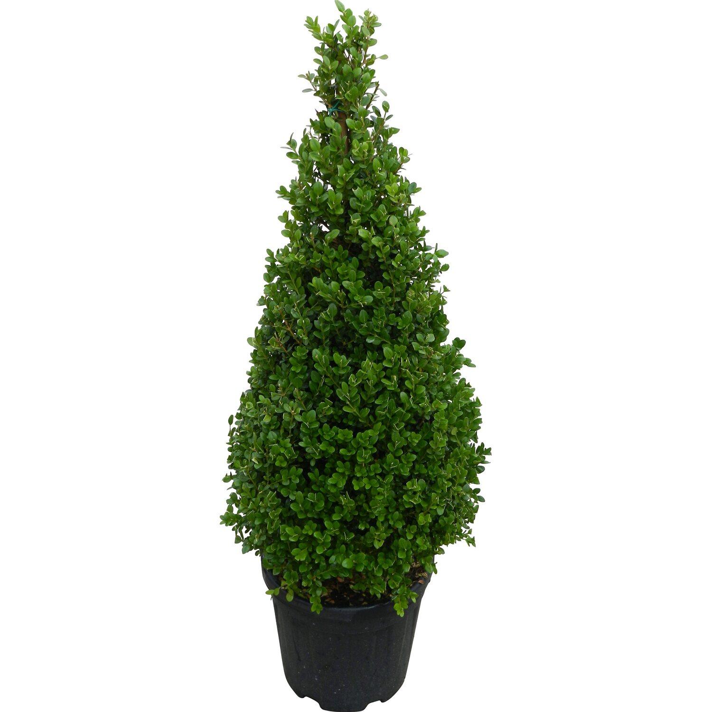 obi buchsbaum faulkner h he ca 75 cm topf ca 15 l buxus microphylla kaufen bei obi. Black Bedroom Furniture Sets. Home Design Ideas