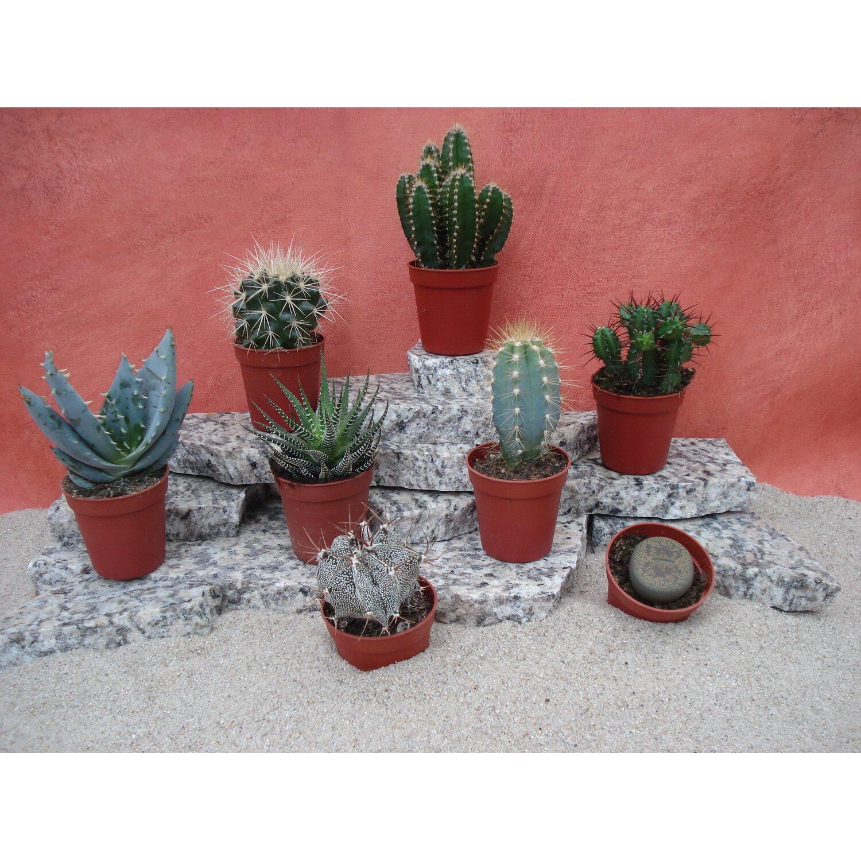 kakteen topf ca 5 5 cm cactus kaufen bei obi. Black Bedroom Furniture Sets. Home Design Ideas