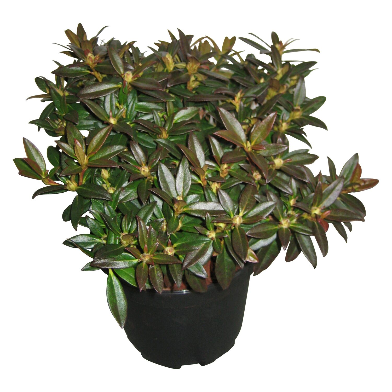 rhododendron robert seleger rosa h he ca 5 10 cm topf ca 3 l rhododendron kaufen bei obi. Black Bedroom Furniture Sets. Home Design Ideas