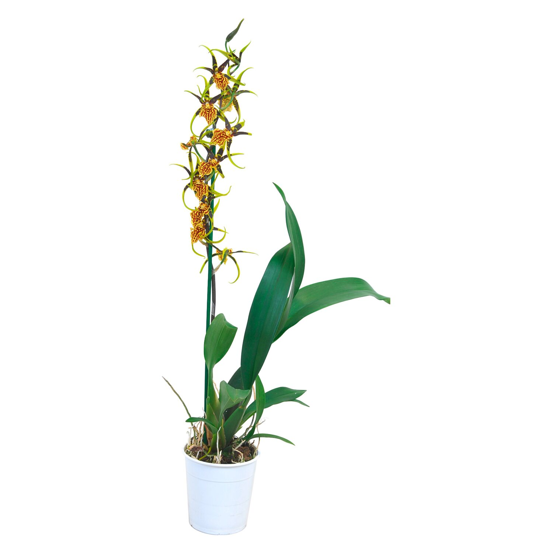 cambria orchidee mystic maze 1 trieber gelb cambria. Black Bedroom Furniture Sets. Home Design Ideas
