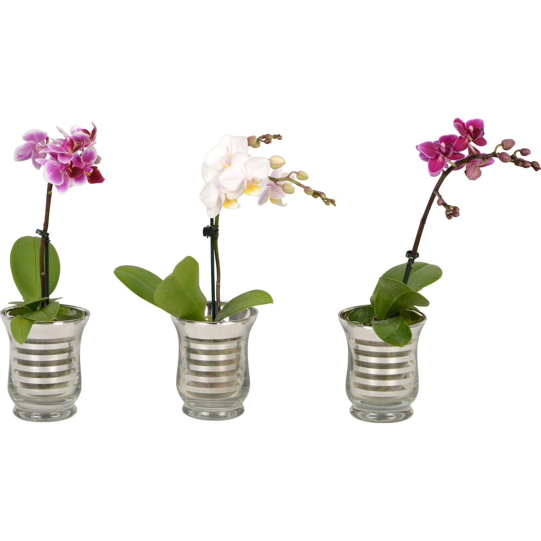 mini schmetterlings orchidee 1 trieber im glas gef. Black Bedroom Furniture Sets. Home Design Ideas