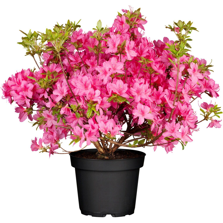Rhododendron Roseum Elegans Rosa Höhe ca. 30 - ...