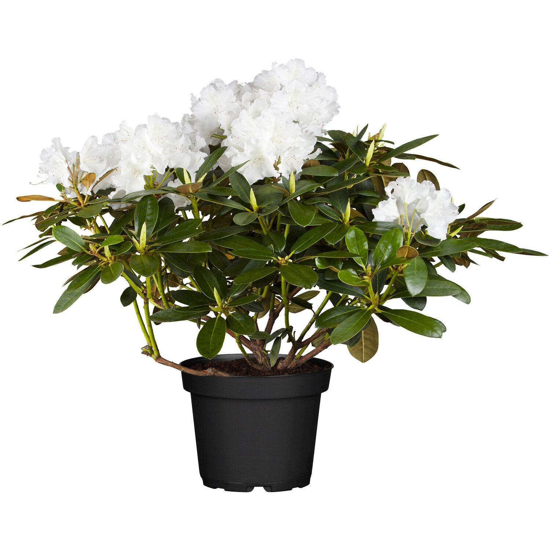 Rhododendren online kaufen bei OBI   OBI.de