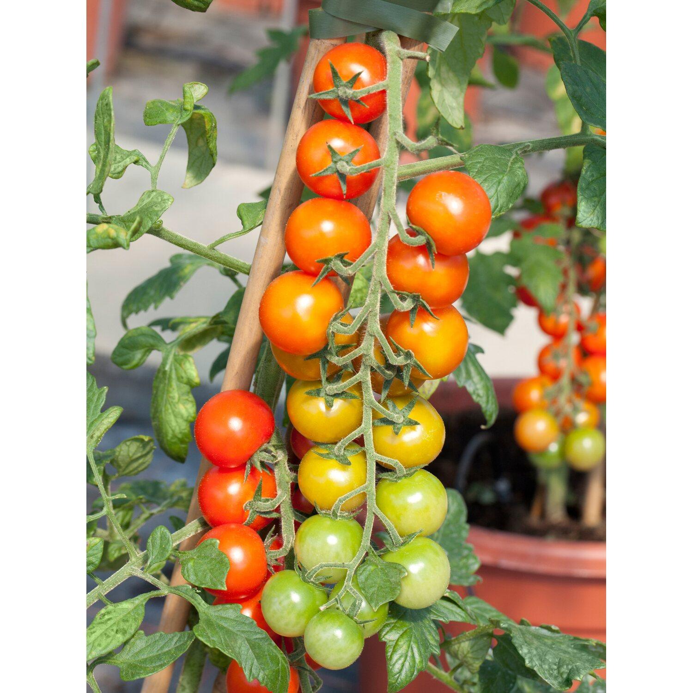 Tomatenpflanzen Kaufen Bei OBI