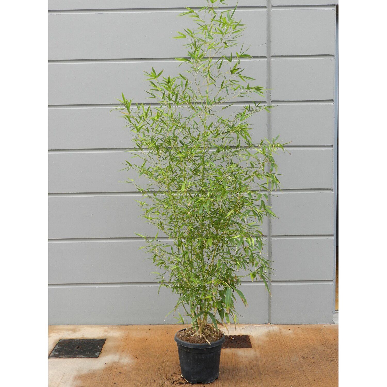 Obi Gold Bambus Topf O Ca 26 Cm Phyllostachys Kaufen Bei Obi