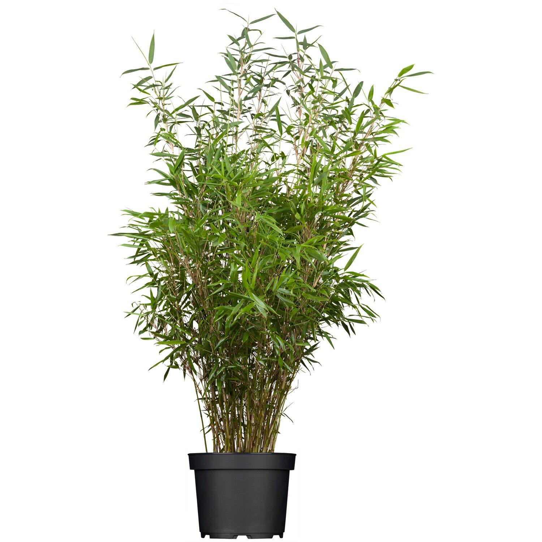 bambus pflanze kaufen bei obi. Black Bedroom Furniture Sets. Home Design Ideas