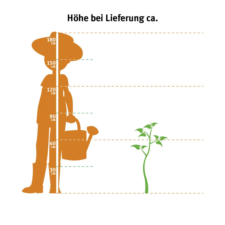 lebensbaum brabant h he ca 60 80 cm ballenware thuja kaufen bei obi. Black Bedroom Furniture Sets. Home Design Ideas
