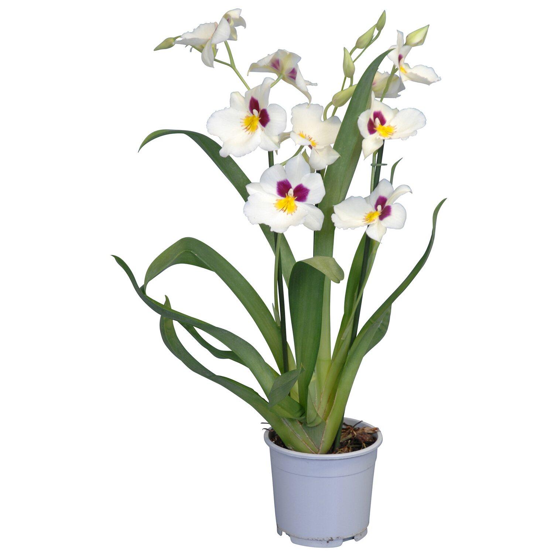 veilchen orchidee 2 trieber wei miltonia kaufen bei obi. Black Bedroom Furniture Sets. Home Design Ideas