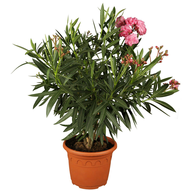 Kubelpflanzen Online Kaufen Bei Obi
