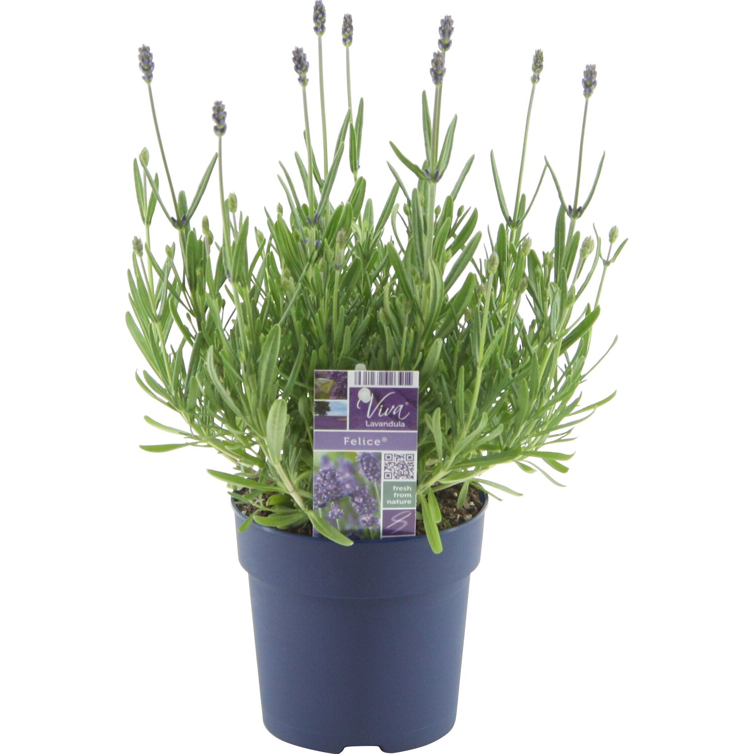 obi lavendel felice topf ca 12 cm lavandula. Black Bedroom Furniture Sets. Home Design Ideas