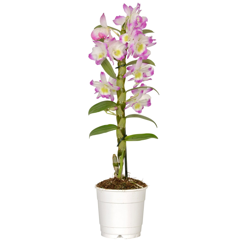 Bambus Orchidee Nobilee 1 Trieber Rosatone Topf O Ca 12 Cm
