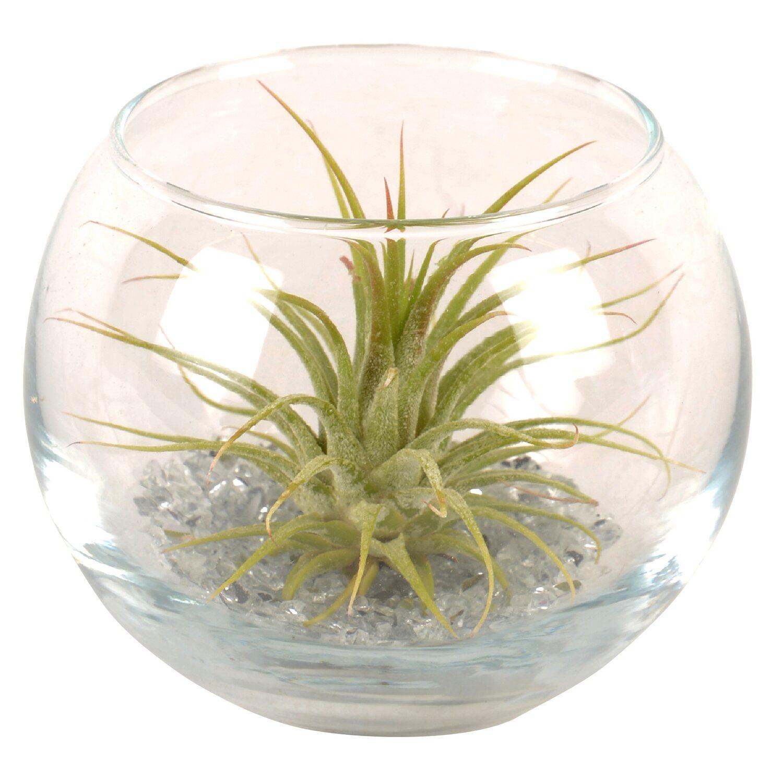 Tillandsien Kaufen tillandsien arrangement im kugelförmigen glas kaufen bei obi