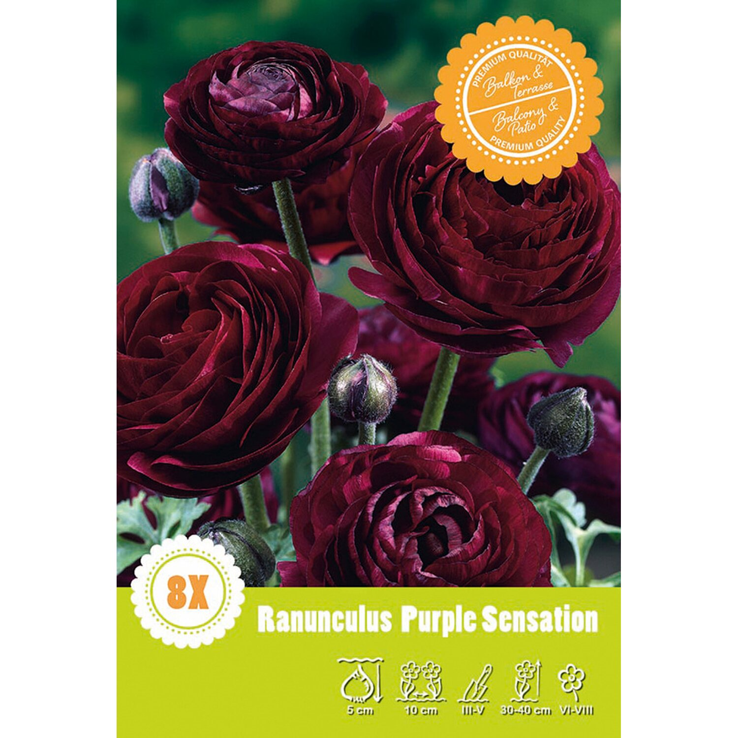 Ranunkeln Purple Sensation Purpur