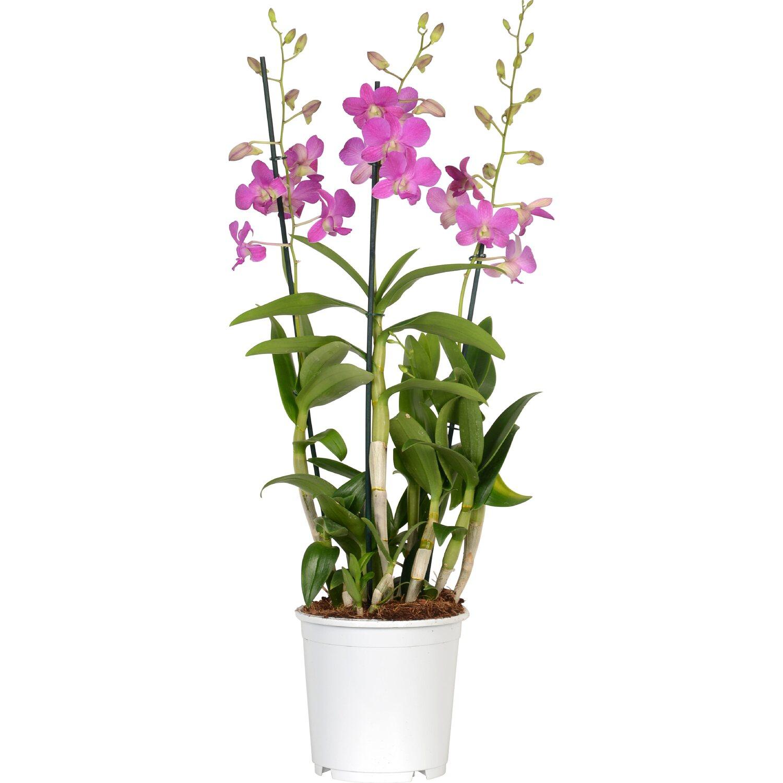 Bambus Orchidee Sa Nook 3 Trieber Topf O Ca 19 Cm Dendrobium