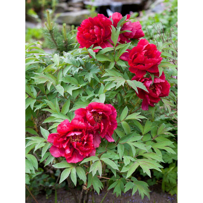 pfingstrose karl rosenfield rot topf ca 13 cm paeonia kaufen bei obi. Black Bedroom Furniture Sets. Home Design Ideas