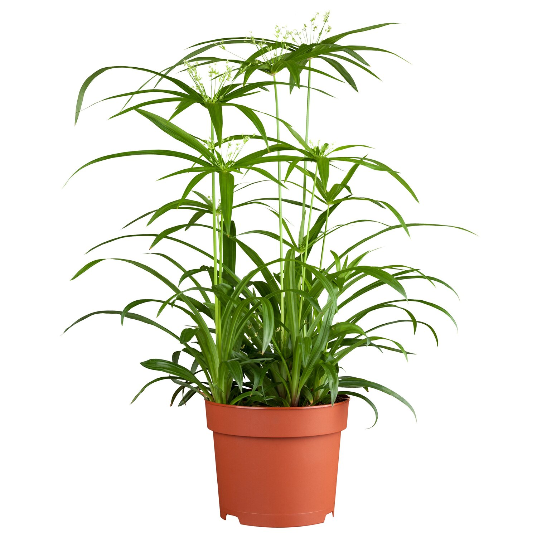 papyrus nofretete topf ca 23 cm cyperus kaufen bei obi