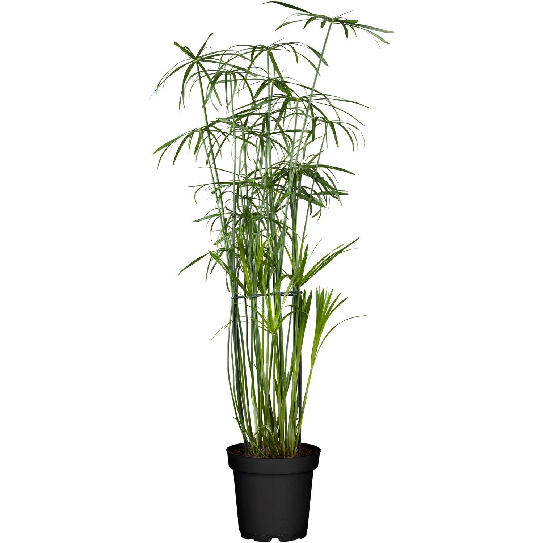 papyrus pflanze kaufen papyrus dehner garten center. Black Bedroom Furniture Sets. Home Design Ideas