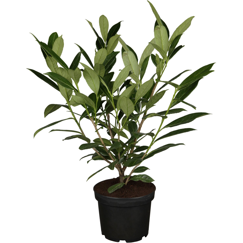 kirschlorbeer caucasica h he ca 40 60 cm topf ca 3 l prunus kaufen bei obi. Black Bedroom Furniture Sets. Home Design Ideas
