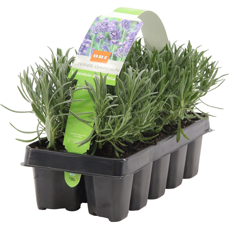 Obi Lavendel 10er Pack Lavandula Angustifolia Kaufen Bei Obi