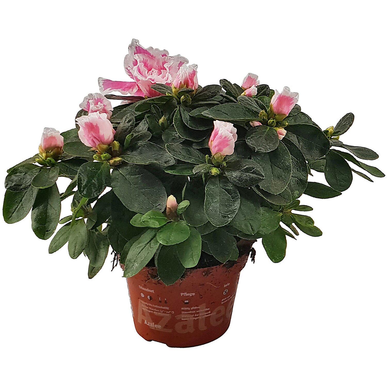 zimmer azalee verschiedene farben topf ca 10 5 cm azalea rhododendron kaufen bei obi. Black Bedroom Furniture Sets. Home Design Ideas