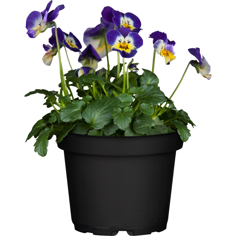 Balkonpflanzen Terrassenpflanzen Online Kaufen Bei Obi Obi De