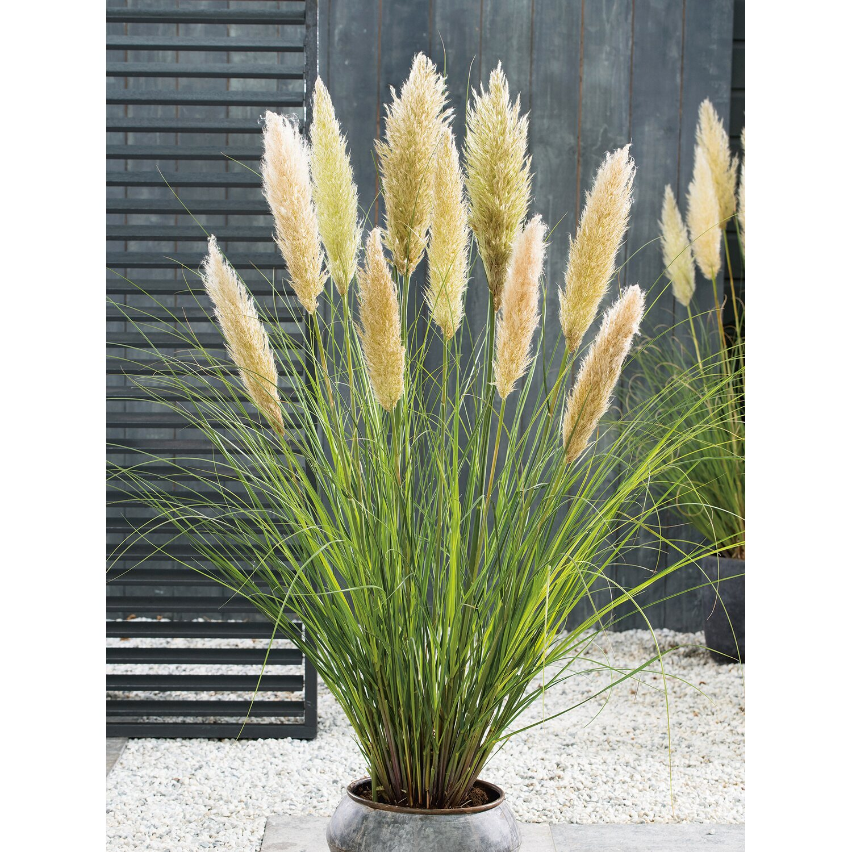 1 Pflanze Topf 2 Ltr. Wei/ßes Mini Pampasgras Cortaderia selloana Silver Mini Pampa