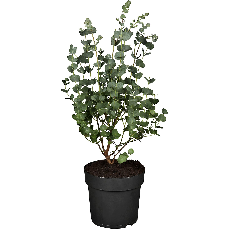 winterharter eukalyptus azura h he ca 25 30 cm topf. Black Bedroom Furniture Sets. Home Design Ideas