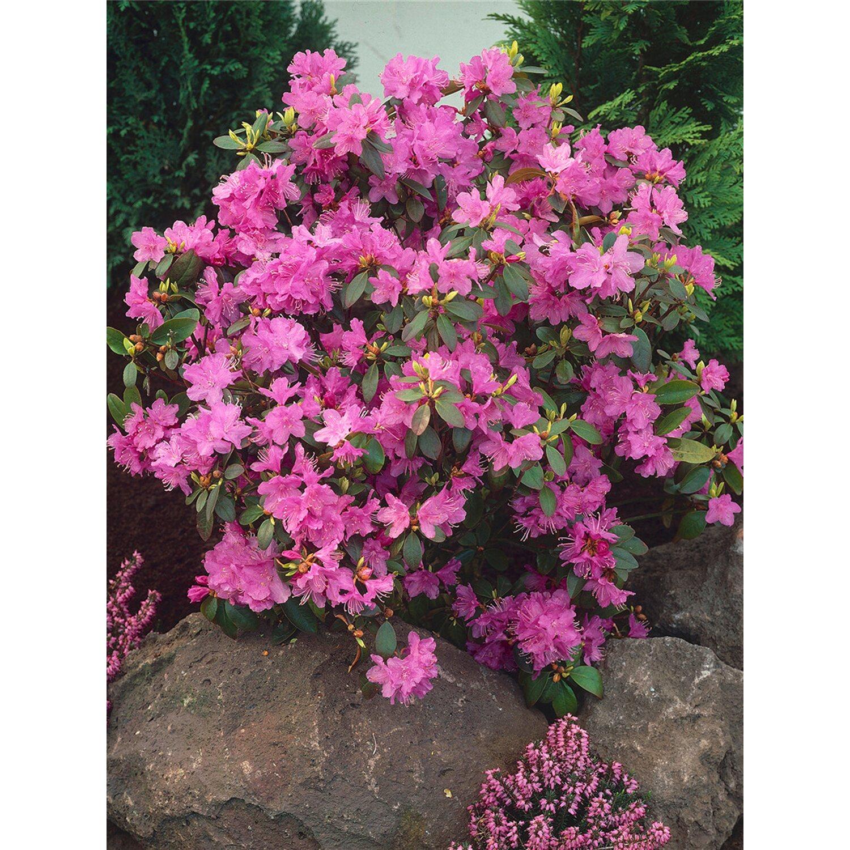Alpenrose P.J.Mezitt Lila Höhe ca. 30 - 40 cm T...