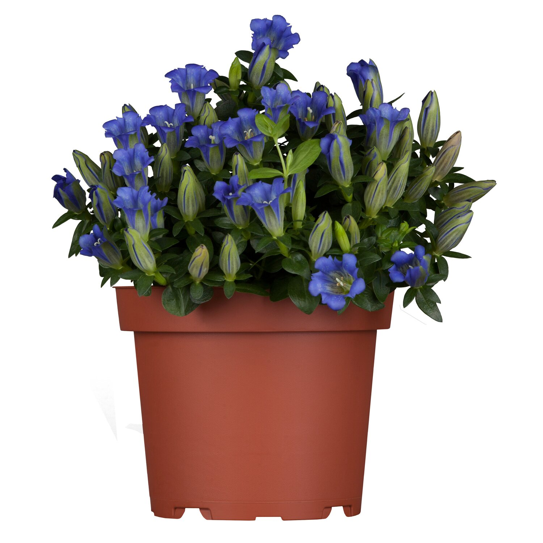 Rauer Garten-Enzian Blau Topf-Ø ca. 13 cm Gentiana