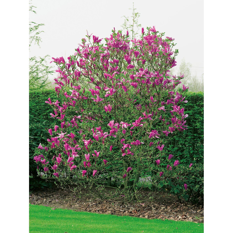 magnolie wachstum