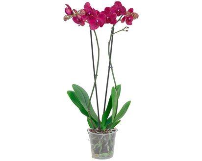 5072 1-70174 Phalaenopsis Schmetterlingsorchidee  110