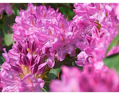 10 Rhododendron rosa Blüte Höhe: 50-60 cm ab Topf Hecken Roseum Elegans
