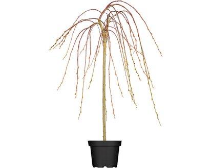 Obi Hangende Katzchenweide Pendula Gelb Hohe Ca 80 100 Cm Topf Ca 5 5 L Salix Kaufen Bei Obi