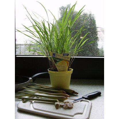 blu bio zitronengras topf ca 12 cm cymbopogon kaufen bei obi. Black Bedroom Furniture Sets. Home Design Ideas