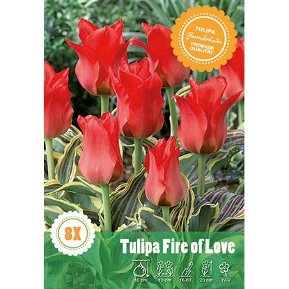 "Greigii Tulpe ""Fire of Love"""