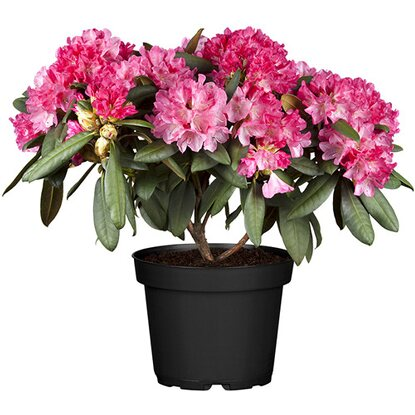 alpenrose h he ca 30 40 cm topf ca 7 l rhododendron kaufen bei obi. Black Bedroom Furniture Sets. Home Design Ideas