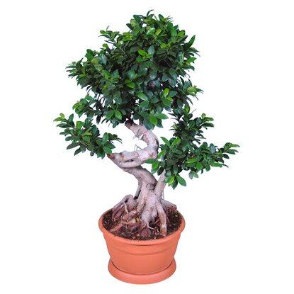 bonsai ficus ginseng topf ca 35 cm kaufen bei obi. Black Bedroom Furniture Sets. Home Design Ideas