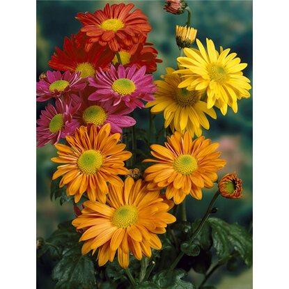 Herbst Chrysantheme Trio Topf O Ca 12 Cm Chrysanthemum Kaufen Bei Obi