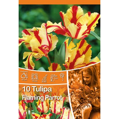 "Papagei Tulpe ""Flaming Parrot"""