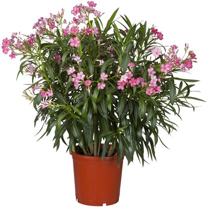 oleander rosa topf ca 17 cm nerium kaufen bei obi. Black Bedroom Furniture Sets. Home Design Ideas
