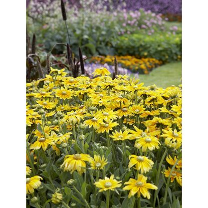 rauer garten sonnenhut gelb topf ca 13 cm rudbeckia. Black Bedroom Furniture Sets. Home Design Ideas