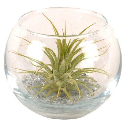 tillandsien arrangement im kugelf rmigen glas kaufen bei obi. Black Bedroom Furniture Sets. Home Design Ideas