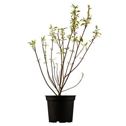Japanischer Blumen-Hartriegel \