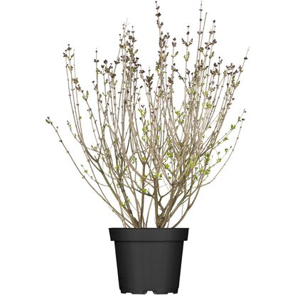 obi meyers flieder palibin lila h he ca 40 50 cm topf ca 3 l syringa kaufen bei obi. Black Bedroom Furniture Sets. Home Design Ideas