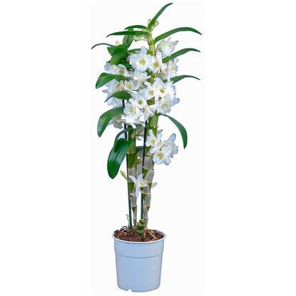 bambus orchidee star class 2 trieber wei dendrobium. Black Bedroom Furniture Sets. Home Design Ideas
