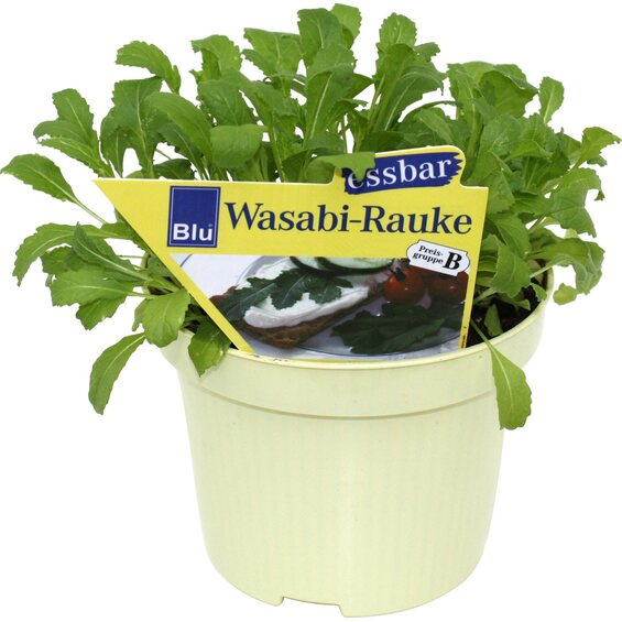 wasabi rauke topf ca 12 cm kaufen bei obi. Black Bedroom Furniture Sets. Home Design Ideas