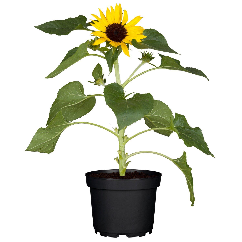 sonnenblume gelb topf ca 12 cm helianthus kaufen bei obi. Black Bedroom Furniture Sets. Home Design Ideas